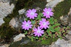 Violette Blumen auf dem Felsen (Primel tirolensis) Stockfoto
