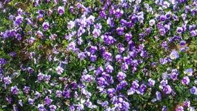 Violette Blumen auf dem Garten Lizenzfreie Stockfotografie