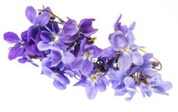 Violette Blumen auf einem weißen Hintergrund Stockbilder