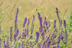 Violette Blumen auf Feld stockbild