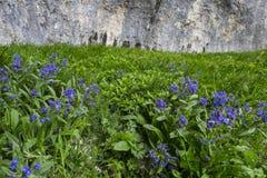 Violette Blumen in den Wiesen mit Felsen auf dem Hintergrund, Corno des Bergs Catria, Apennines, Marken, Italien lizenzfreie stockbilder