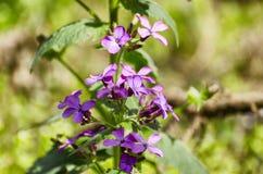 Violette Blumen des Frühlinges, welche die Frühlingsmorgensonne genießen Stockfoto