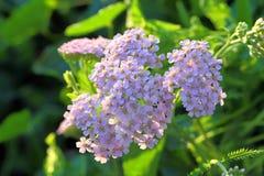 Violette Blumen einer Schafgarbe Stockbilder