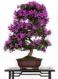 Violette Blumen eines Azaleebonsais Lizenzfreies Stockbild