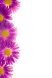 Violette Blumen getrennt Lizenzfreie Stockfotos