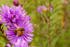 Violette Blumen mit einer Biene Stockbilder