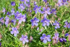 Violette Blumen, Pelargonie pratense Lizenzfreie Stockfotos