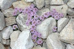 Violette Blumen (Thlaspi rotundifolium) und Steine Stockfotos