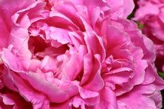 Violette Blumenblätter herrlicher blühender peonia Blume Lizenzfreie Stockfotografie