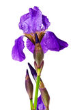 Violette Blumeniris Stockbild
