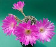 Violette cactusbloesem Stock Foto's