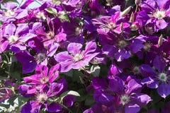 Violette clematissenbloemen Royalty-vrije Stock Afbeeldingen