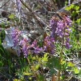 Violette corydalisbloemen in de lente De mening van de close-up royalty-vrije stock afbeeldingen