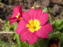 Violette cramoisie Photo stock