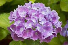 Violette d'hortensia images stock