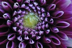 Violette Dahlia Royalty-vrije Stock Fotografie