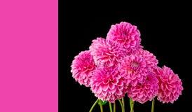 Violette Dahlienblumenblätter Stockbild