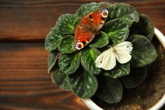 Violette dans un pot Les papillons se reposent sur l'usine images stock