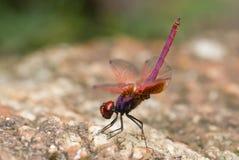 Violette darterlibel Stock Afbeeldingen