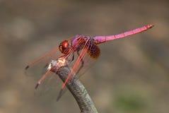 Violette darterlibel Royalty-vrije Stock Afbeeldingen