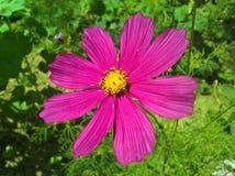 Violette de Bipinnatus de cosmos de cosmos de jardin Photographie stock