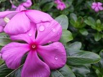 Violette de fleur Photo stock
