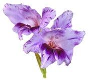 Violette de glaïeul Images libres de droits