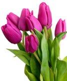 Violette de lentetulpen Stock Foto