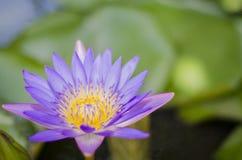 Violette de lotus de fleur Photos stock