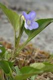Violette de marais Images stock