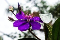 Violette de Quaresmeira images stock