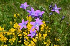 Violette die bloemen, als sterren of lelies worden gevormd stock afbeeldingen