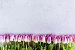 Violette die tulpen op grijze achtergrond worden voorbereid en worden geïsoleerd royalty-vrije stock afbeeldingen