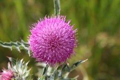 Violette distel Stock Foto