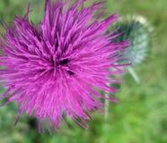 Violette distelbloem royalty-vrije stock fotografie