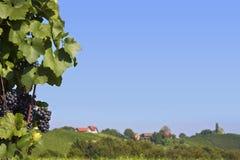 Violette druiven op wijngaard Stock Foto's