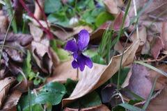Violette en automne Photo libre de droits