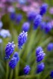 Violette en blauwe bloemen Stock Afbeeldingen
