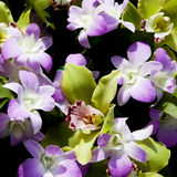 Violette en groene orchideeën Royalty-vrije Stock Foto's