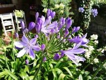 Violette en gros plan de fleur image stock