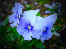Violette en parcs - Londres images stock