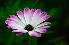 Violette en witte bloembloemblaadjes met gele stamensbloesems Royalty-vrije Stock Foto's