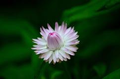 Violette en witte bloemkelkbladen en knop Stock Fotografie