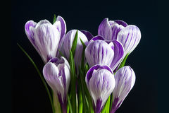 Violette en witte krokussen Pickwick stock fotografie