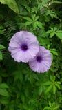 Violette Farbblume Stockfotografie