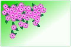 Violette Flammenblume Lizenzfreie Stockbilder