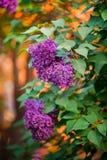 Violette Flieder bei rotem Sonnenuntergang Lizenzfreies Stockbild