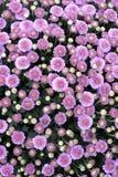 Violette flovers stockfotografie