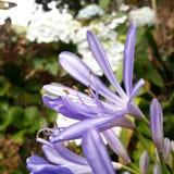 Violette flowee Stock Afbeeldingen
