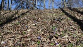 Violette Frühlingsblumen-Auswahl stock footage